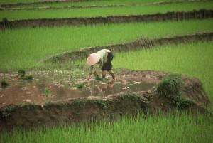Vietnam_paddyfields