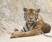 tiger_temple_6032441172